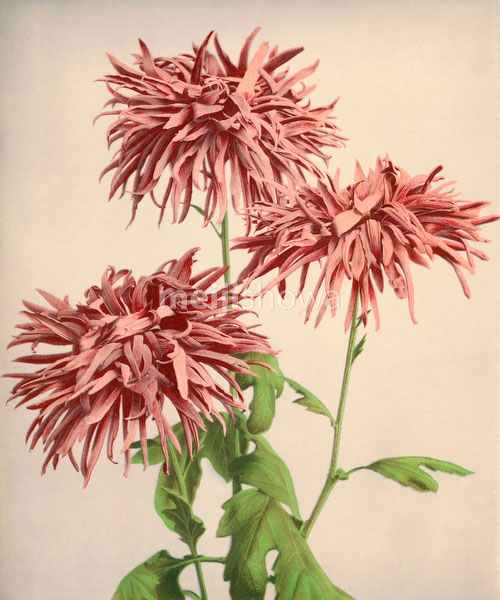 70613-0001 - Chrysanthemum
