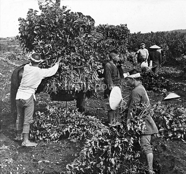 80221-0022 - Loading Mulberry Leaves