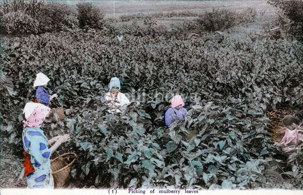 70425-0016 - Picking Mulberry Leaves