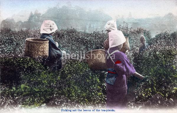 70531-0003 - Picking Tea