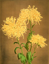70601-0008 - Chrysanthemum