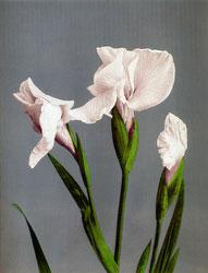 70603-0001 - Iris