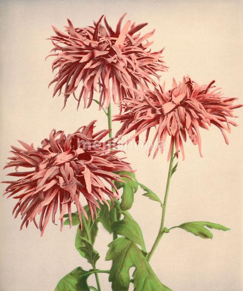 70613-0001 - Chrysanthemum