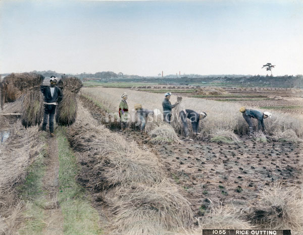 71205-0008 - Harvesting Rice