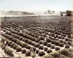 71205-0015 - Tea Plantation