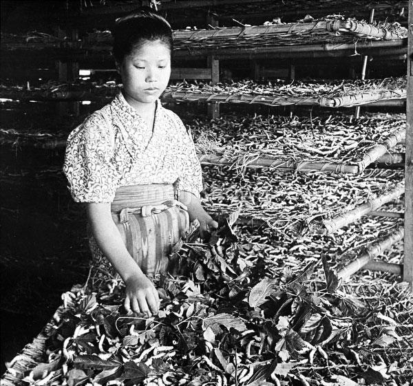 80221-0023 - Feeding Silkworms