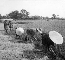 80717-0020 - Harvesting Rice