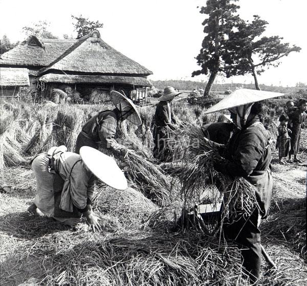 81118-0014 - Threshing Rice