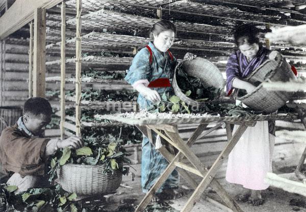 100914-0008 - Feeding Silkworms