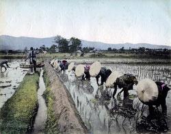 80302-0071-PP - Planting Rice