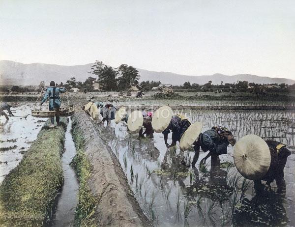 101105-0021 - Planting Rice