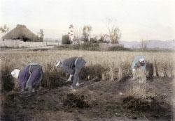 110609-0006 - Harvesting Rice