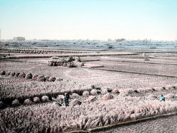 110613-0007 - Harvesting Rice