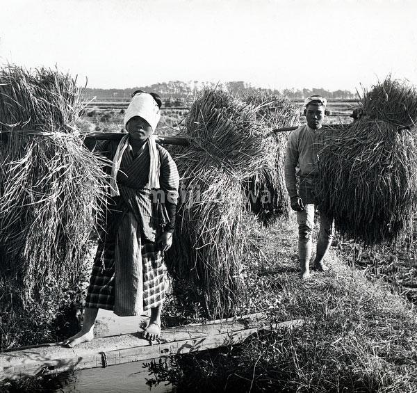 110613-0034 - Harvesting Rice