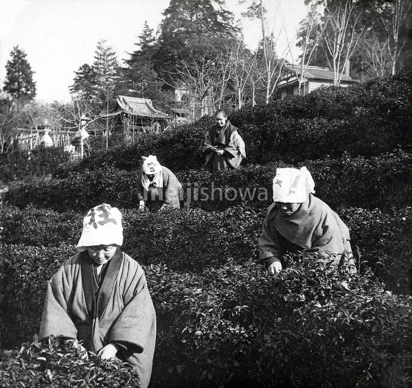 120418-0012 - Tea Pickers