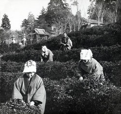 120418-0012 - Tea Pickers