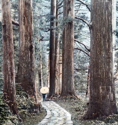 130602-0008 - Nikko Cedar Trees