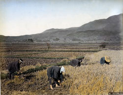 80303-0090-PP - Harvesting Rice