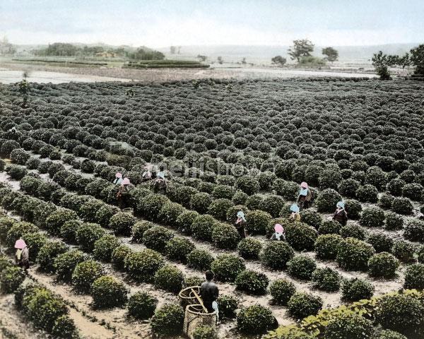 120207-0200-PP - Tea Plantation