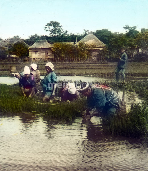 140302-0004 - Transplanting Rice Plants