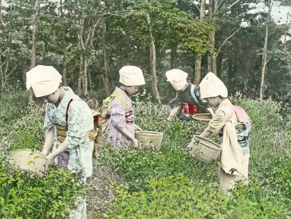 140916-0029-PP - Tea Pickers