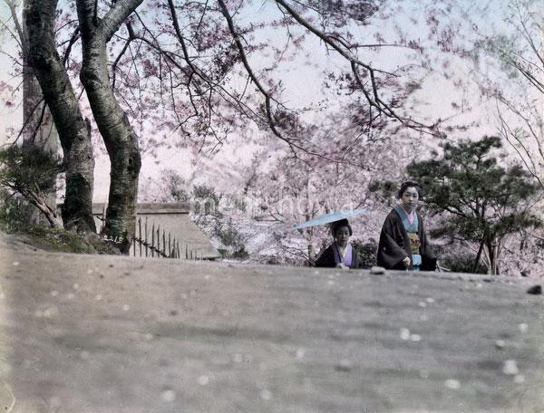 140916-0205-PP - Cherry Blossom