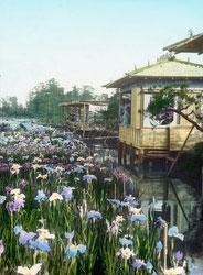 160201-0012 - Japanese Iris Garden
