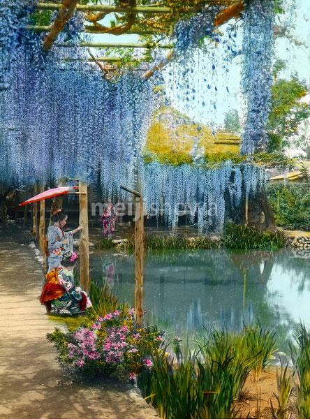 160201-0013 - Japanese Wisteria Garden