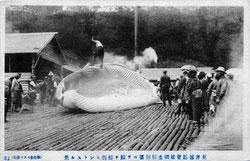 160301-0013 - Flensing a Whale