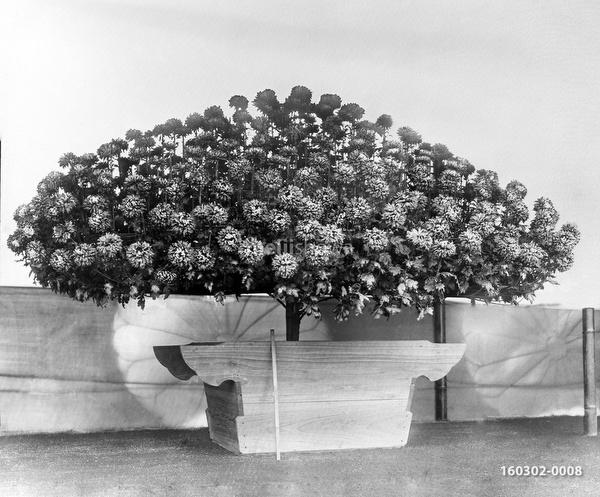 160302-0008 - Chrysanthemum Plant