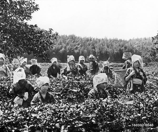 160302-0040 - Tea Pickers