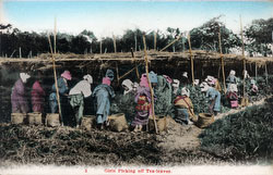 160303-0034 - Tea Pickers