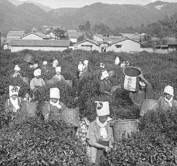 160305-0033 - Tea Pickers