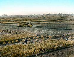 160307-0040 - Harvesting Rice