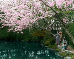 160307-0043 - Maiko Admiring Cherry Blossom