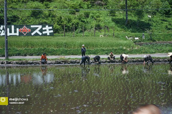 160903-0037 - Planting Rice