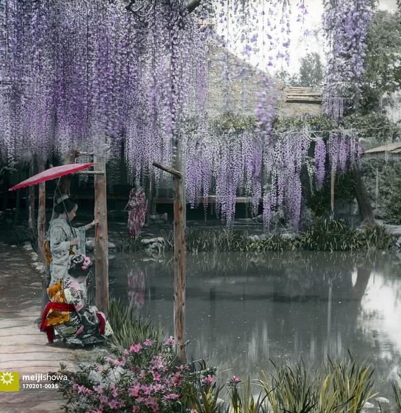 170201-0035 - Japanese Wisteria Garden